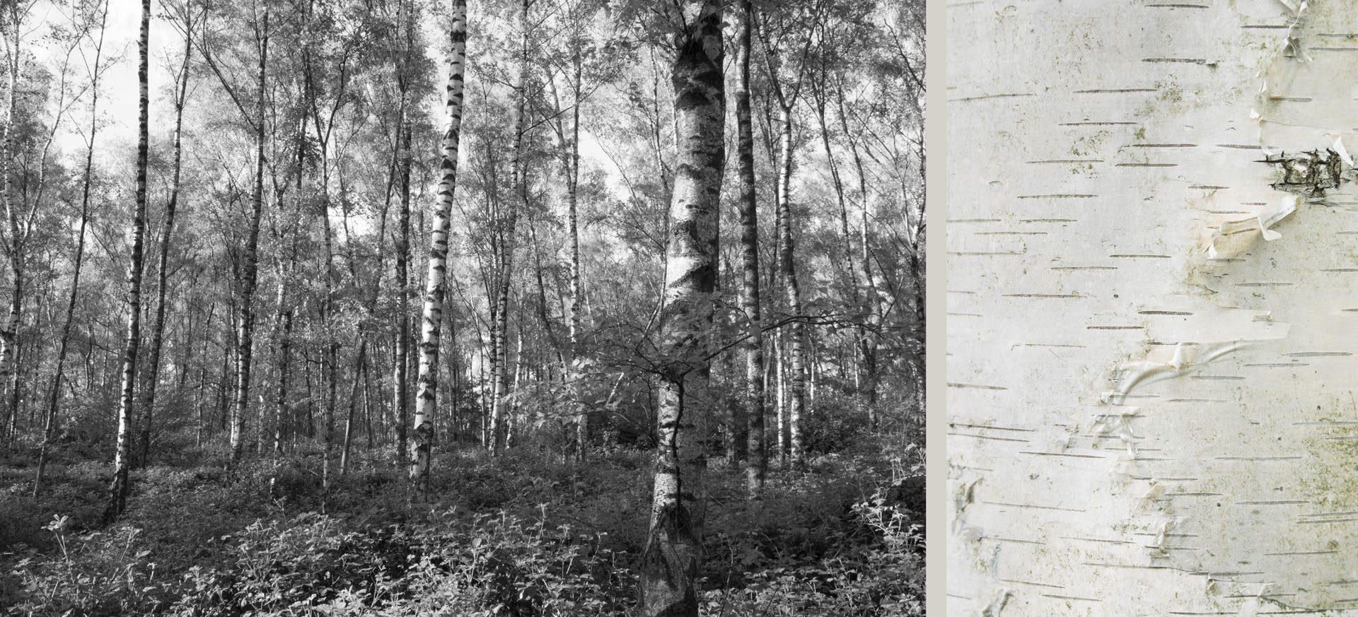 WaldRindenDoppel Birken III • Lambda-Print auf KODAK Pro Endura, Alu-Dibond®, 110 x 50 cm, gerahmt als Art-Box • Auflage: 5 + 2 Artist's Proof