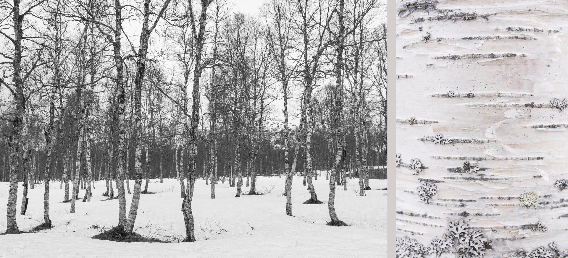 WaldRindenDoppel Birken IV • Lambda-Print auf KODAK Pro Endura, Alu-Dibond®, 110 x 50 cm, gerahmt als Art-Box • Auflage: 5 + 2 Artist's Proof