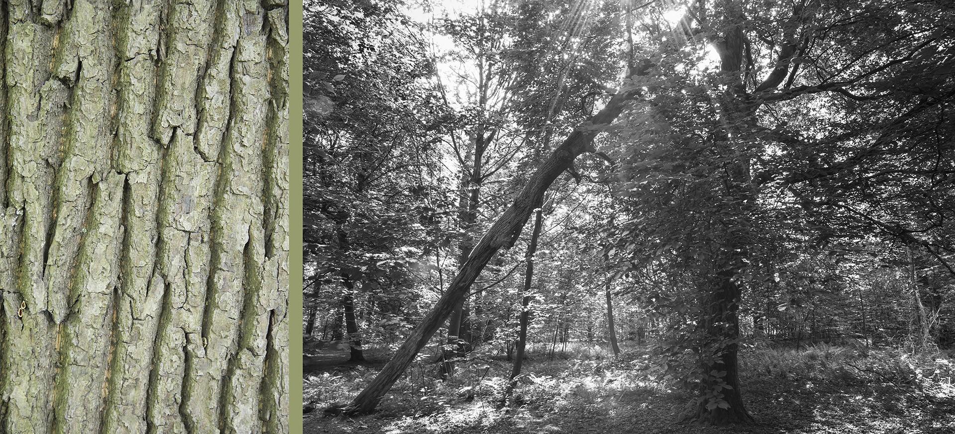 WaldRindenDoppel Eiche mit Buchen • Lambda-Print auf KODAK Pro Endura, Alu-Dibond®, 110 x 50 cm, gerahmt als Art-Box • Auflage: 5 + 2 Artist's Proof