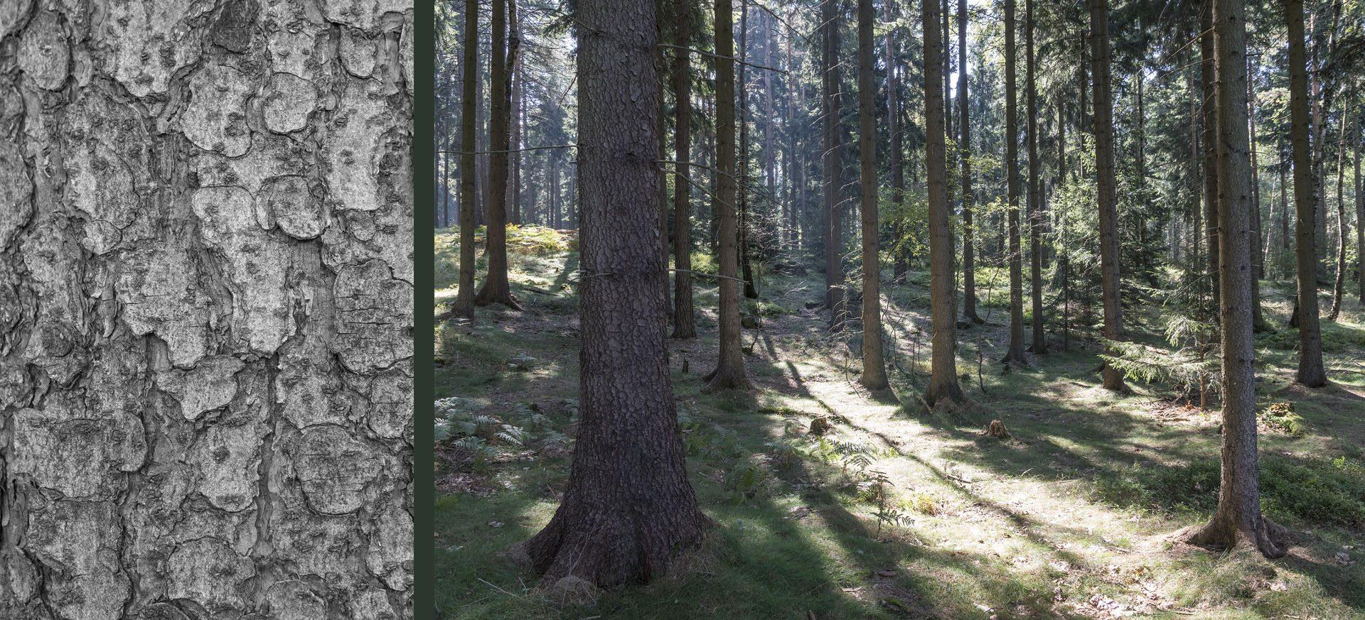 WaldRindenDoppel Tannen III • Lambda-Print auf KODAK Pro Endura, Alu-Dibond®, 110 x 50 cm, gerahmt als Art-Box • Auflage: 5 + 2 Artist's Proof