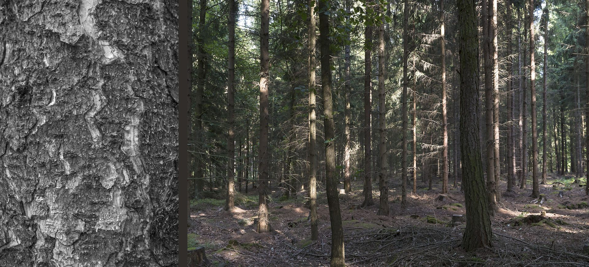 WaldRindenDoppel Tannen II • Lambda-Print auf KODAK Pro Endura, Alu-Dibond®, 110 x 50 cm, gerahmt als Art-Box • Auflage: 5 + 2 Artist's Proof