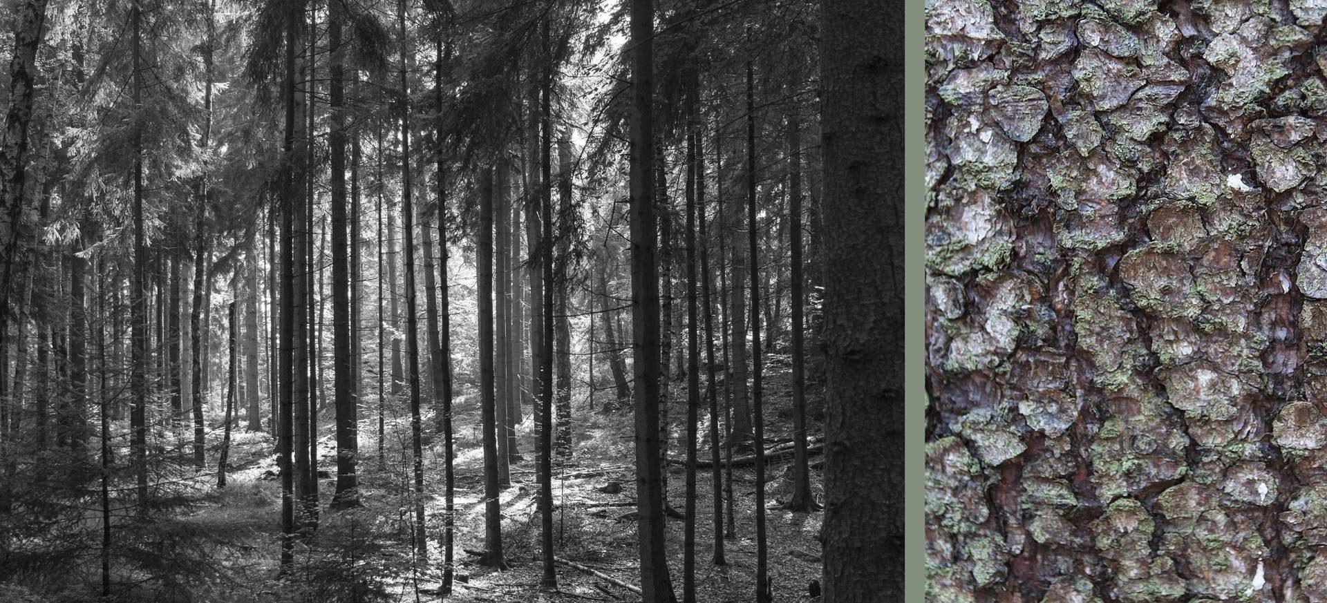WaldRindenDoppel Tannen IV • Lambda-Print auf KODAK Pro Endura, Alu-Dibond®, 110 x 50 cm, gerahmt als Art-Box • Auflage: 5 + 2 Artist's Proof