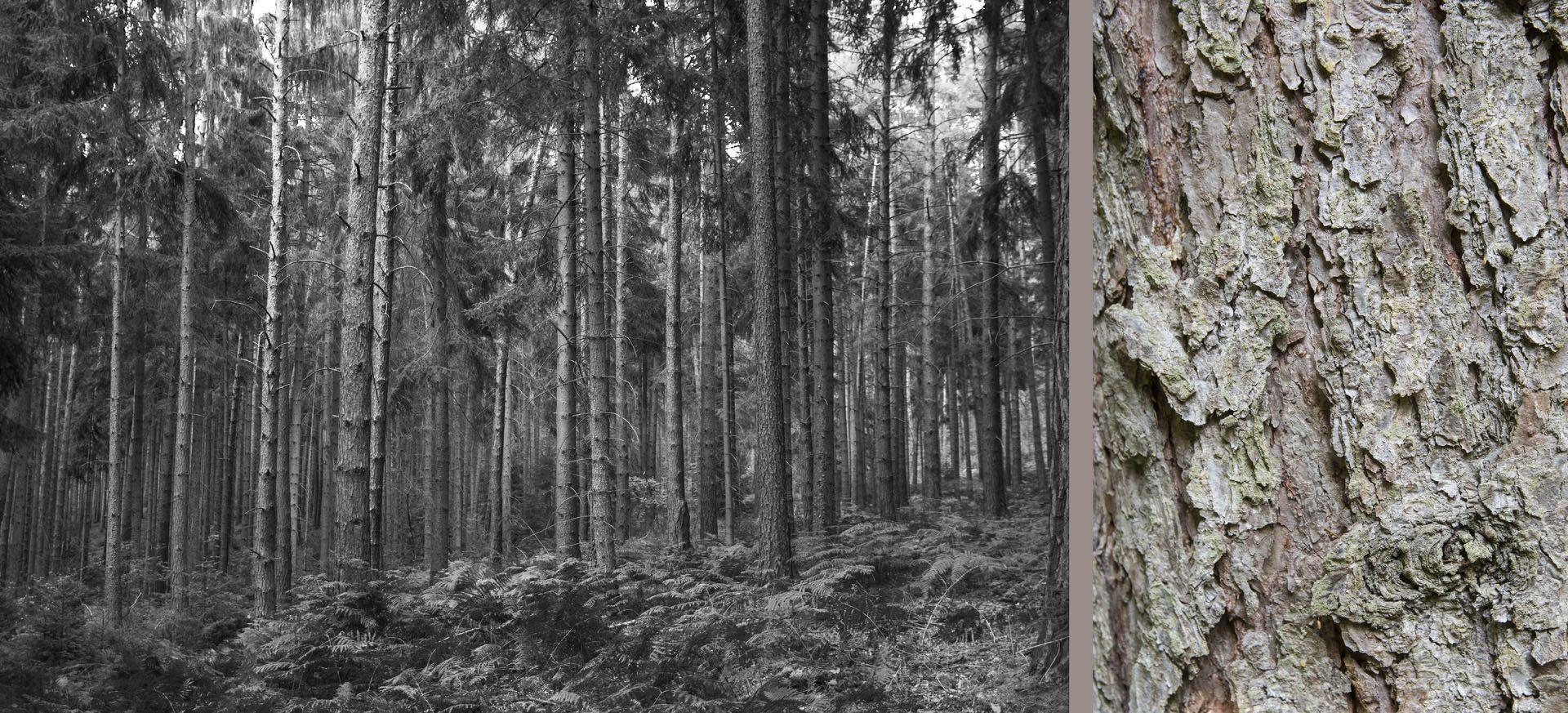 WaldRindenDoppel Tannen I • Lambda-Print auf KODAK Pro Endura, Alu-Dibond®, 110 x 50 cm, gerahmt als Art-Box • Auflage: 5 + 2 Artist's Proof