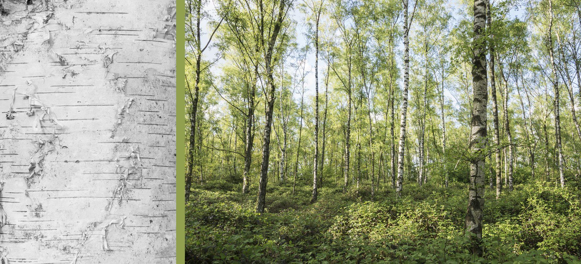 WaldRindenDoppel Birken II • Lambda-Print auf KODAK Pro Endura, Alu-Dibond®, 110 x 50 cm, gerahmt als Art-Box • Auflage: 5 + 2 Artist's Proof