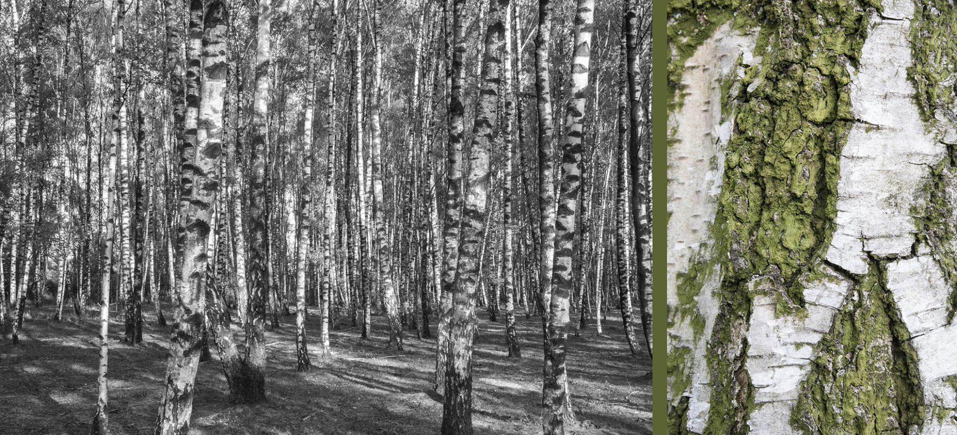WaldRindenDoppel Birken I • Lambda-Print auf KODAK Pro Endura, Alu-Dibond®, 110 x 50 cm, gerahmt als Art-Box • Auflage: 5 + 2 Artist's Proof